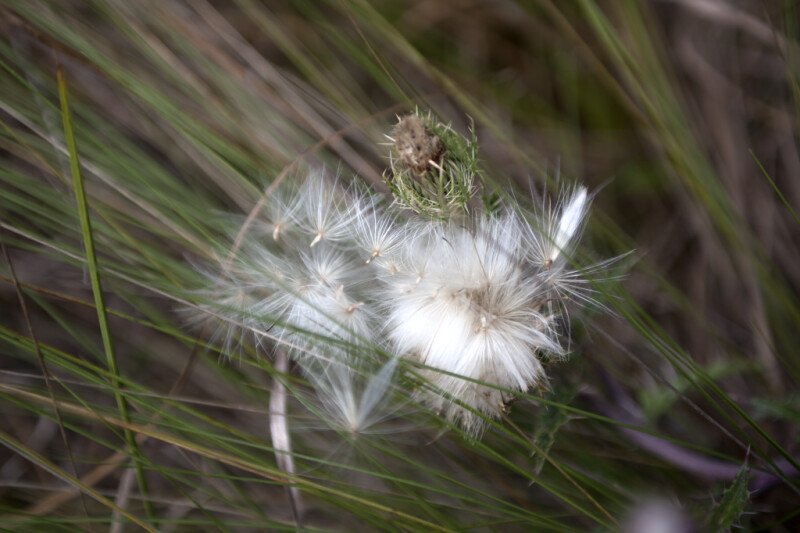 Thistle with White Flowers Growing Amongst Tall Grass