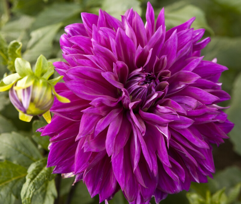 Thomas A Edison' Dahlia Close-Up
