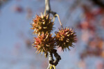 Thorny Flowers of an American Sweetgum Tree