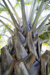Thorny Palm Tree