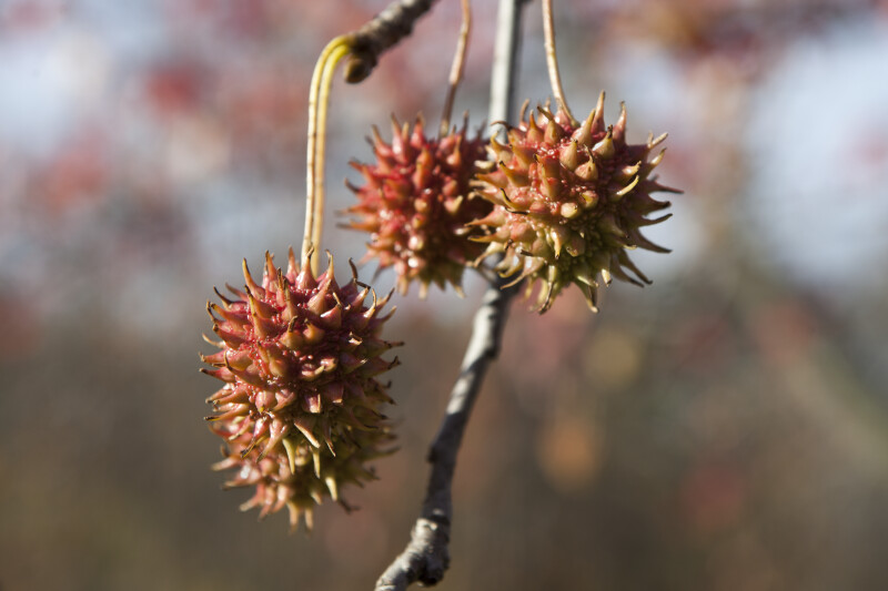 American Sweetgum Flowers