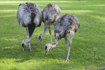 Three American Rheas