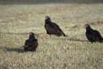 Three Turkey Vultures