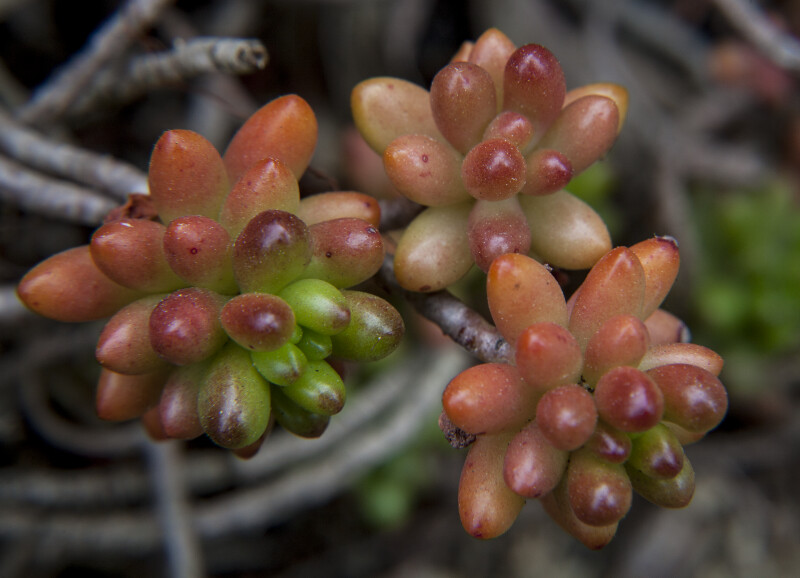 Three Clusters of Succulent Leaves