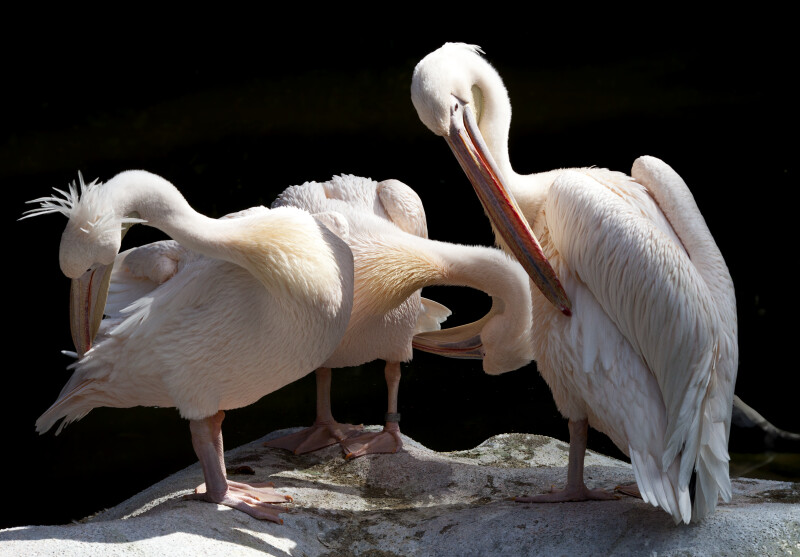 Three Eastern White Pelicans