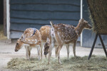 Three Female Chital at the Artis Royal Zoo