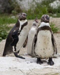 Three Humboldt Penguins