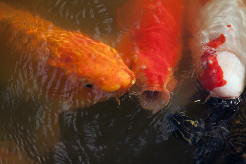 Three Koi and a Turtle
