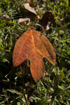 Three-Lobed Sassafras Leaf