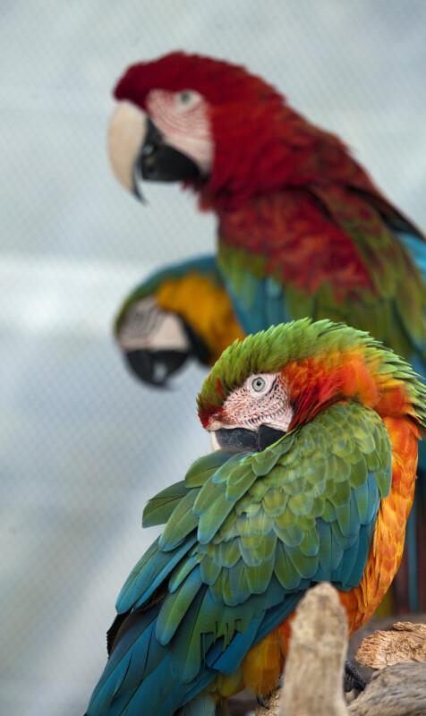 Three Macaws