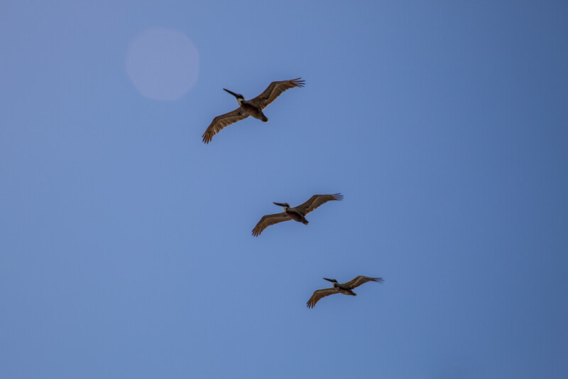 Three Pelicans Flying In Line with One Another