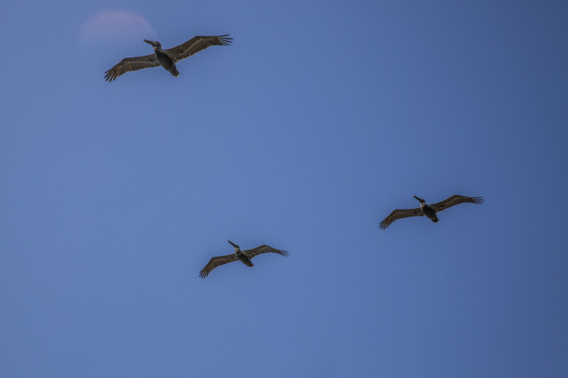 Three Pelicans that are In Flight
