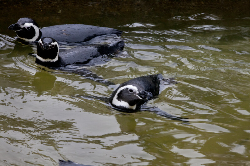 Three Penguins Swimming