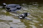 Three Penguins Swimming
