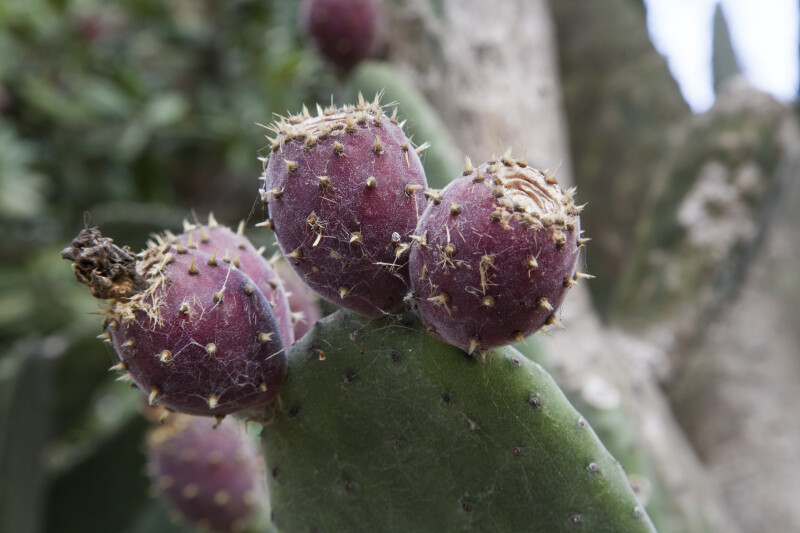 Three Prickly Pear Cactus Fruits