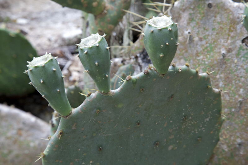 Three Prickly Pear Cactus Leaves Sprouting From a Larger Paddle
