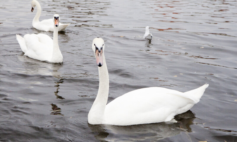 Three Swans at Nymphenburg Palace
