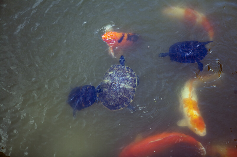 Three Turtles and Koi