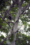 Three White Ibises in a Tree