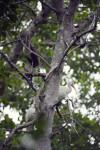 Three White Ibises in a Tree