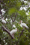 Three White Ibises