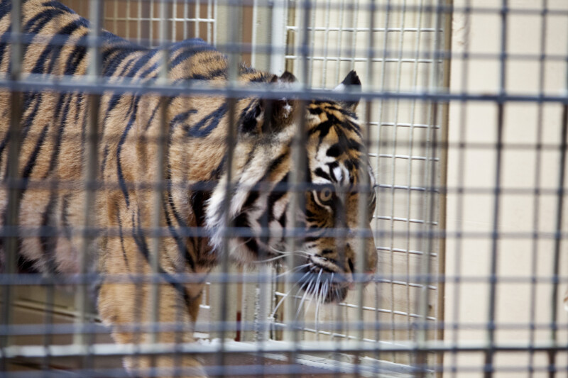 Tiger in cage clippix etc educational photos for students and teachers - Tiger in cage images ...