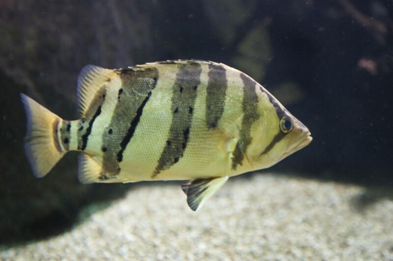 Tiger Perch