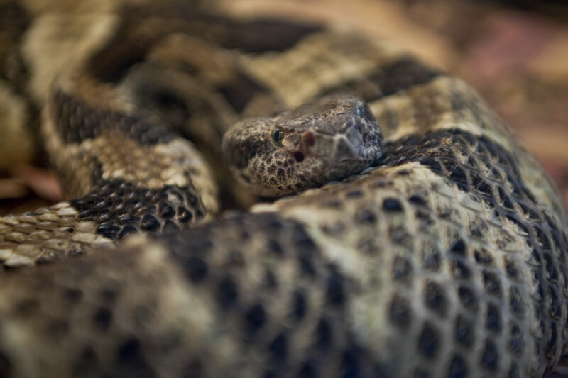 Timber Rattlesnake Close-Up