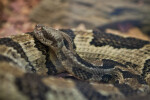Timber Rattlesnake Detail