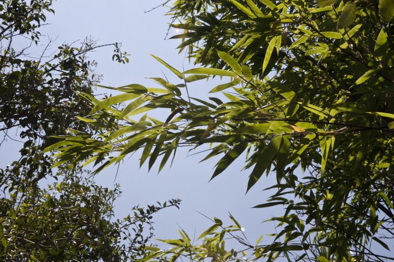 Timor Black Bamboo Leaves