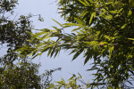 Timor Black Bamboo Leaves