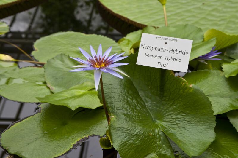 Tina Water Lily
