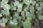 Tiny, Green, Broad Strawberry Begonia Leaves with Hairy Margins