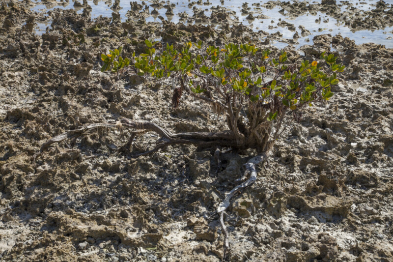 Tiny Mangrove Tree Growing in Dried Coral and Sand