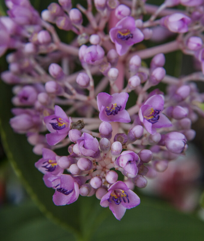 Tiny, Purple Flowers and Flower Buds