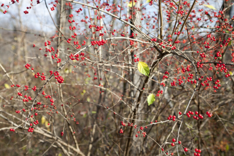 Tiny Red Berries on Branches of a Holly Tree