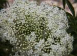 Tiny White Elderberry Flowers and Buds
