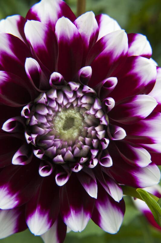"""Tomo""  Dahlia Circular Flower"