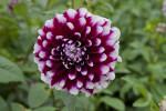"""""""Tomo"""" Dahlia Flower"""