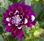"""""""Tomo"""" Dahlia Flowers"""