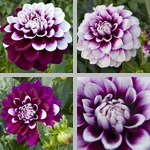 Tomo Dahlias photographs