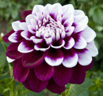 """Tomo"" Decorative Dahlia"