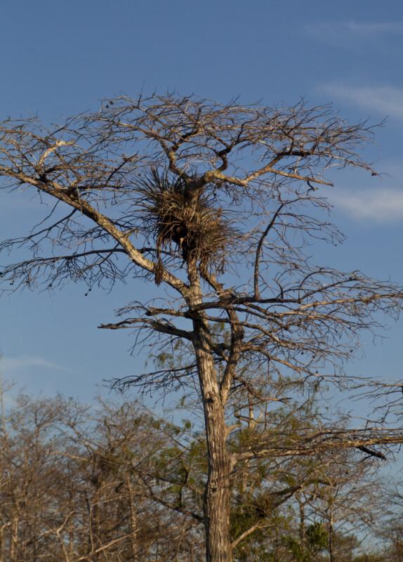 Top Half of a Dwarf Bald Cypress Tree