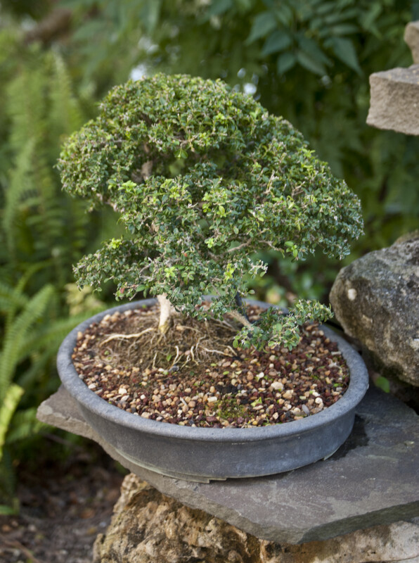 Top of a Bonsai Tree with Green Leaves