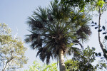 Top of a Cabbage Palm Tree