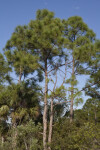 Top of a Few Pine Trees