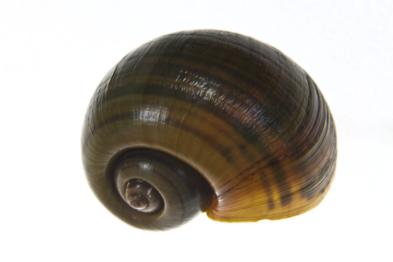 Top of a Florida Apple Snail Shell