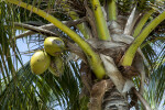 Top of a Fruiting Coconut Tree