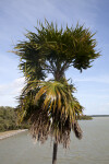 Top of a Palm Tree at the Flamingo Visitor Center of Everglades National Park