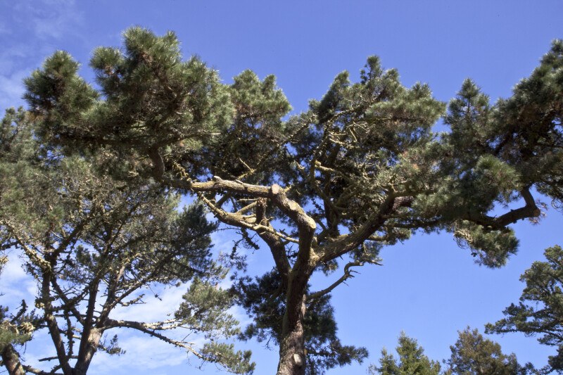 Top of a Pine Tree